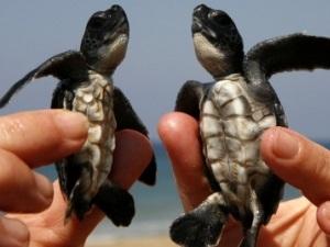 Пляжи Анталии наполнились крохотными черепахами Каретта-Каретта